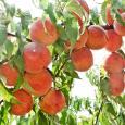 Фото персиков агрофирмы Сады Бахчисарая